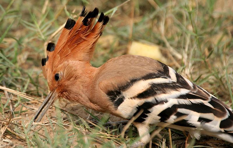 صور الهدهد طائر الهدهد