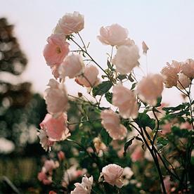 |الورد للورد احـــلى الرمـــزيــات~2~