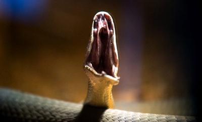 المامبا السوداء Black Mamba الثعابين السامة العالم