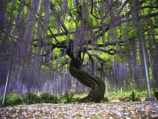 صور حديقة اشكاكيا اليابنية نسج الخيال