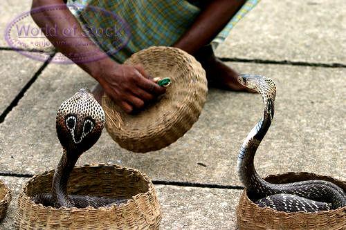 ثعبان الكوبرا ثعبان الكوبرا
