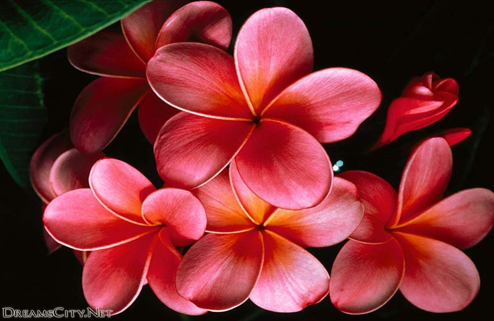 حمراء خلفيات حمراء حمراء wallpaper red flower