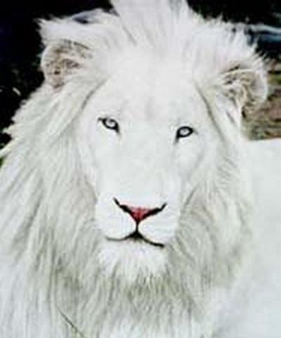بالصور الأسد الأبيض الحيوانات