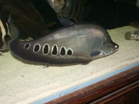 بالصور السمكة النادرة الاسماك Clown Knife Fish