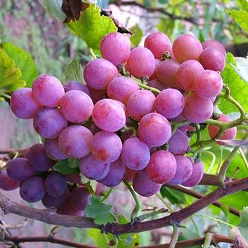 العنب وحميته العنب يخسس كيلو